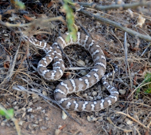 """Our first snake in Mongolia (Vero: """"snake, heeeelp!"""" Silvan: """"Coool!! Where is the camera??"""""""