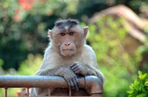 Affe, wenn er Silvan sieht