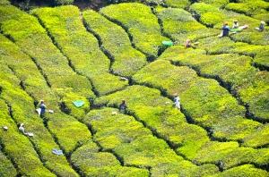 Schwarztee-Plantagen in Munnar
