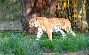 Auge in Auge mit dem Tiger...