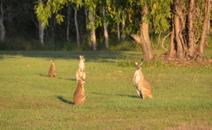 ...and still Kangoroos!