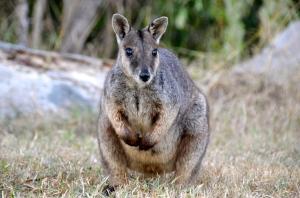 first Kangoroos