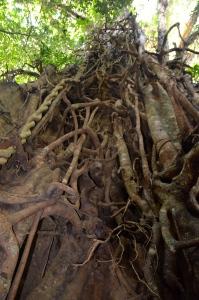 huuuuuuuge Tree (Daintree National Park)